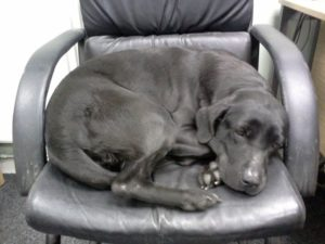 A dog tired sitting in an office chair